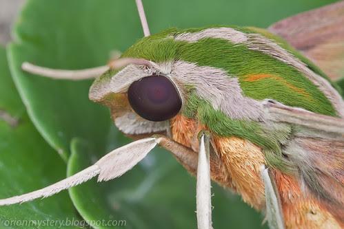 Green Hawk-Moth Pergesa acteus IMG_5368 copy