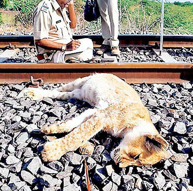 The big cats have strayed into the neighbouring villages in the Saurashtra region desperately looking for prey (pictured: a body of a lion knocked down by a speeding train)
