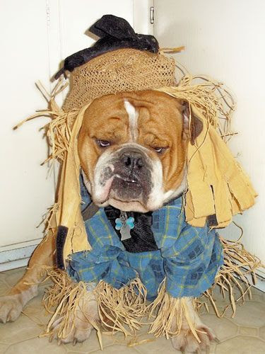 Top 10 English Bulldog Halloween Costumes That Are Going To Blow You Away!
