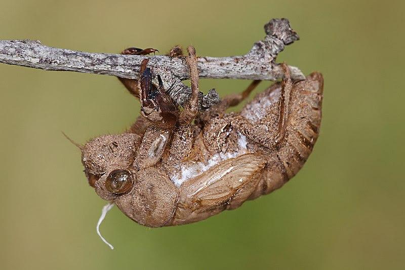 File:Cicada skin.jpg