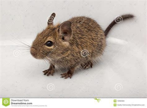 Common Degu, Brush Tailed Rat, Octodon Degus Stock Photos   Image: 13092383