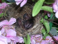 bulbul chicks2 (11May)