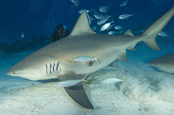 Info Tiger Shark Facts About Bull Sharks