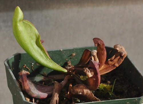 Sarracenia purpurea (Drummond, WI), @ 1 year old.