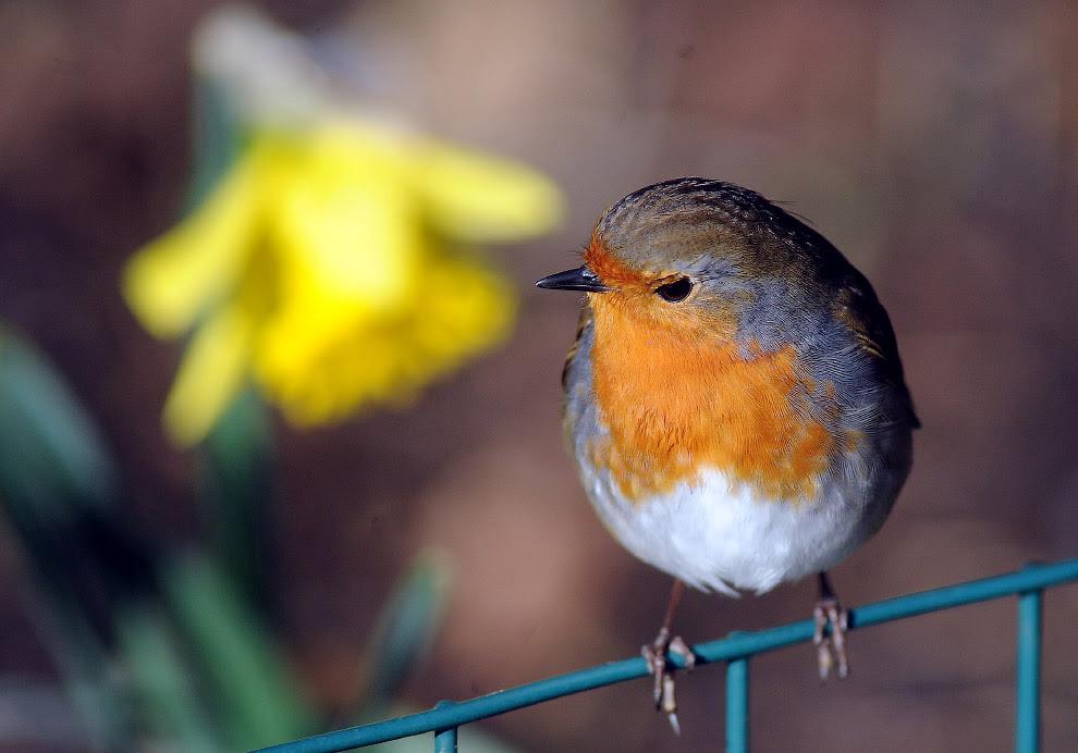 Малинівка - одна з найулюбленіших птахів британців