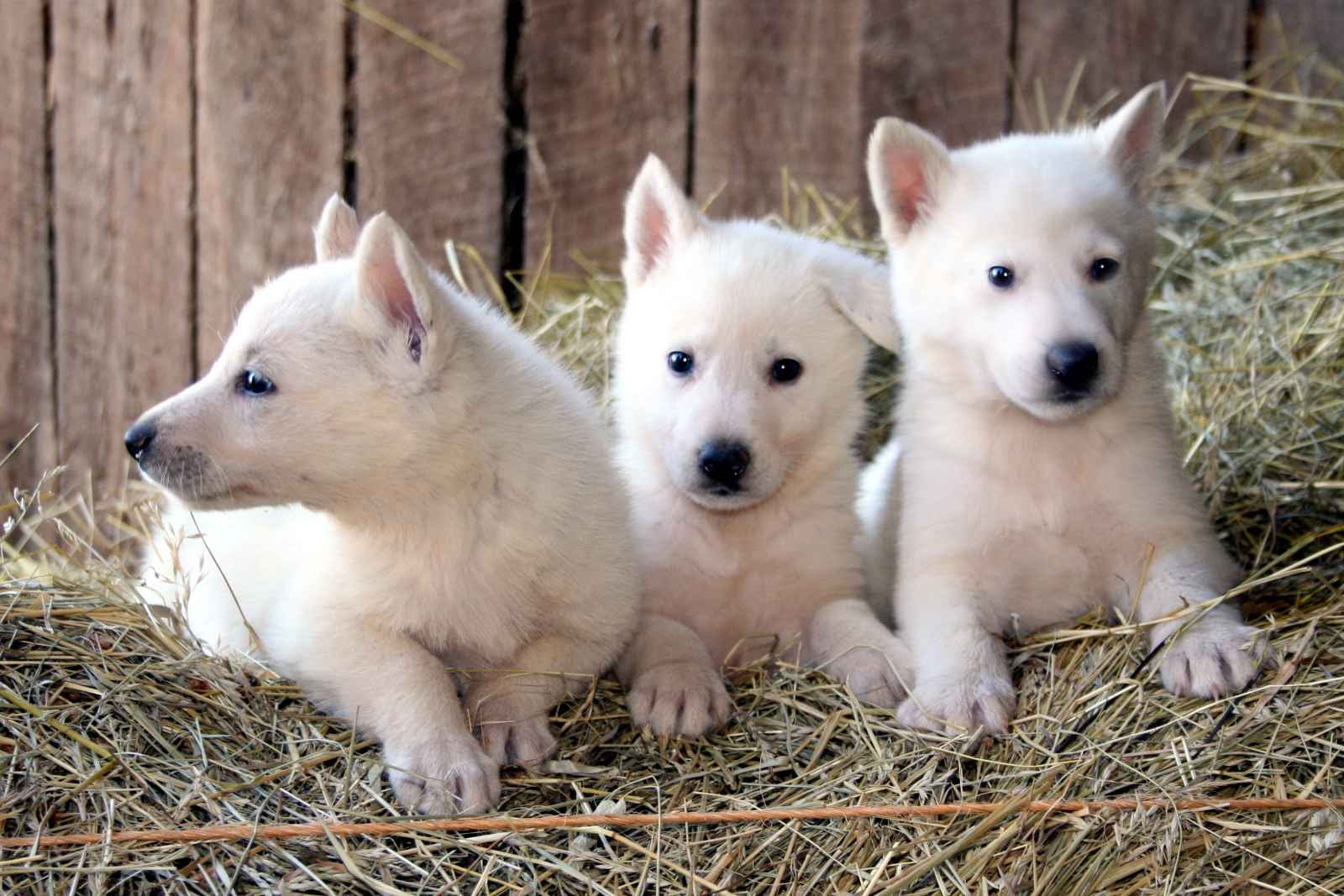 Buy White German Shepherd Puppies For Sale Near Me In Finland