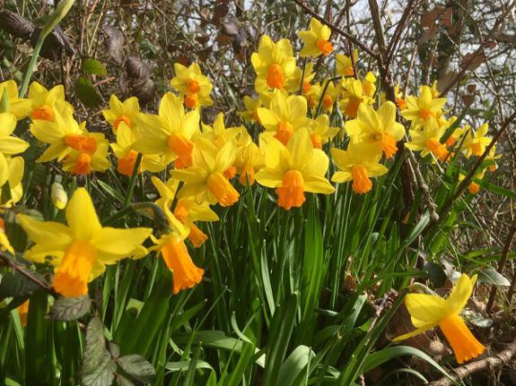 daffodils2019.jpg