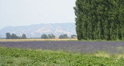 Photo of lavender field at Eatwell Farm in California