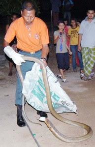 BAHAYA...ular tedung selar sepanjang 4.5 meter yang ditangkap anggota Jabatan Pertahanan Awam Malaysia (JPAM).