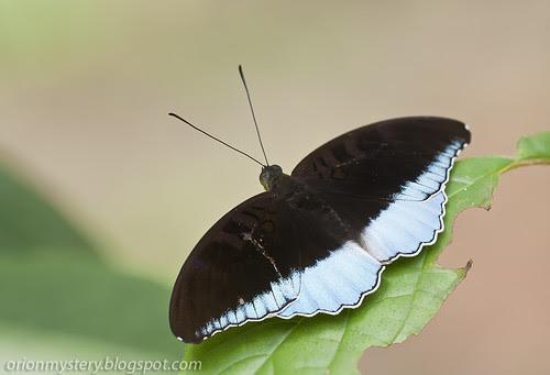 Male Tanaecia iapis puseda (Horsfield's Baron) IMG_3281 stk copy