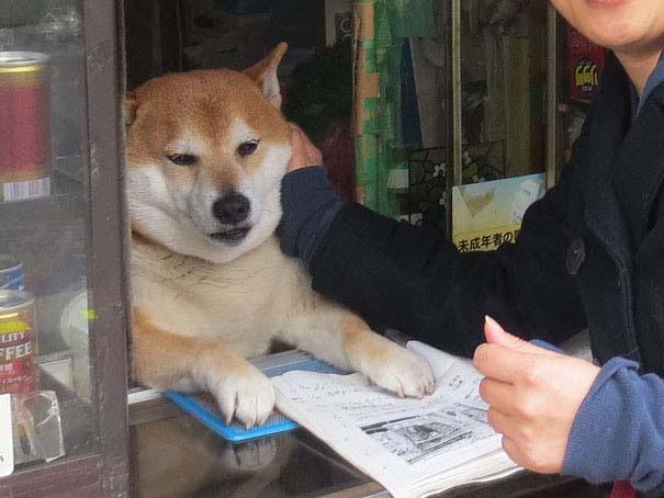 Σκύλος περιπτεράς (2)