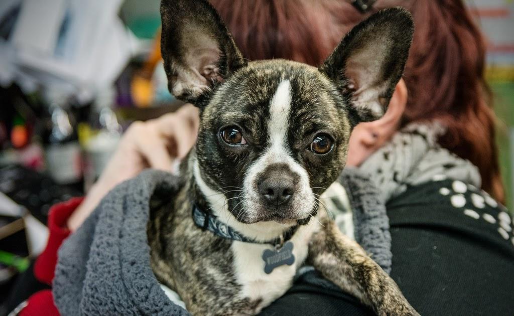 pozie: French Bulldog Chihuahua Mix