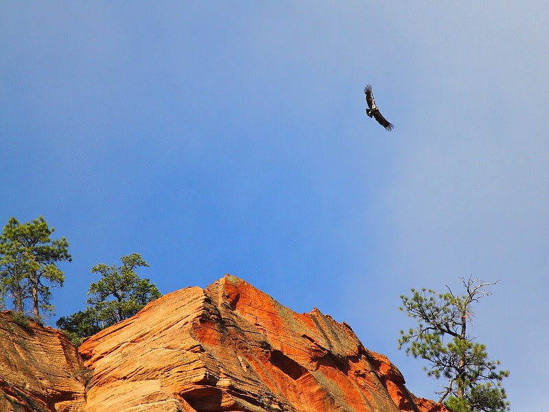 IMG_7417 California Condor, Zion National Park