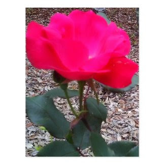 Seeing Red Rose Petal Power Postcard