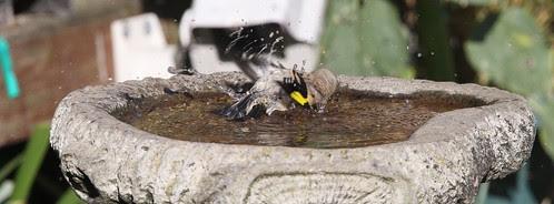 Goldfinch at the Bird Bath