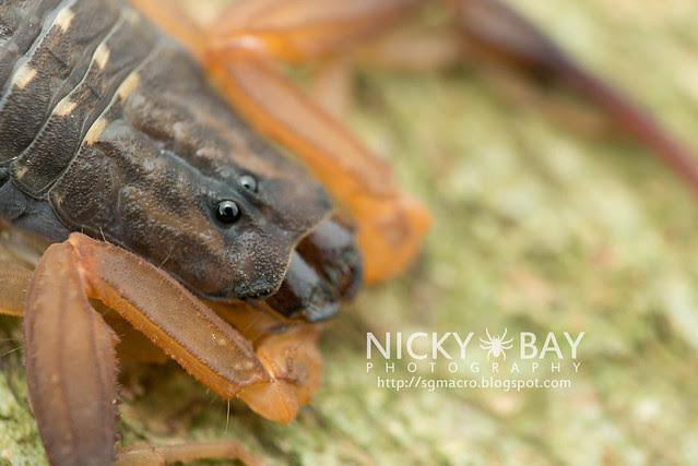 Scorpion (Scorpiones) - DSC_4773