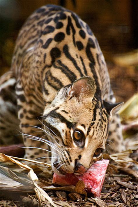 WorldIssuesProject Ocelots   home
