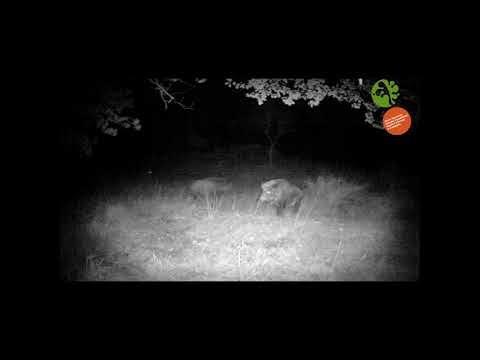 Branco di lupi assalta un cinghiale, furiosa battaglia nella notte per la vita