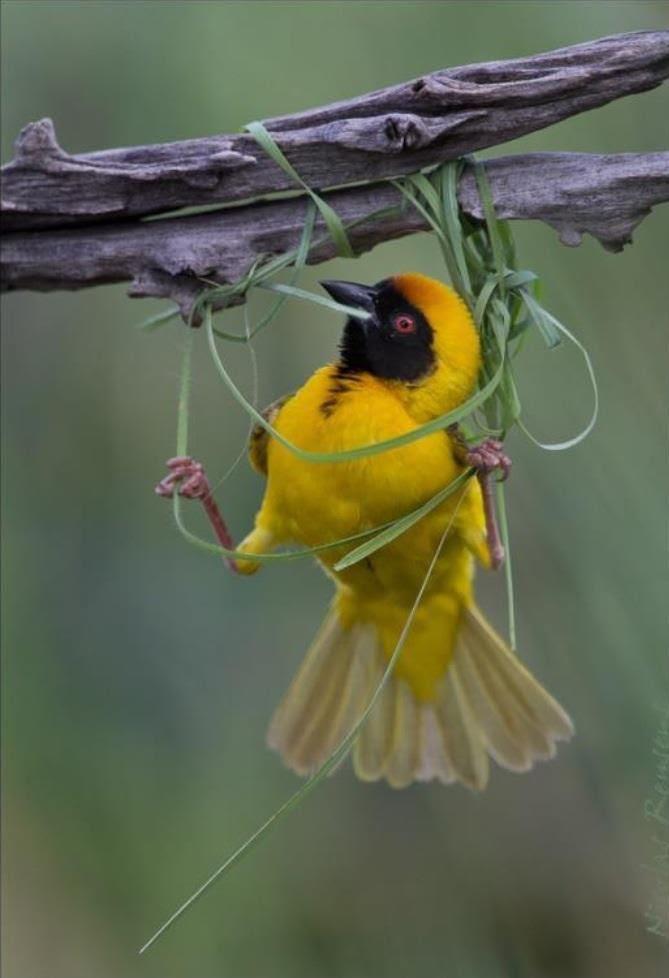 Weaver bird starting a nest