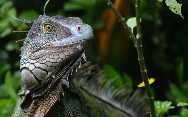 Leave that iguana in the jungle, expert tells Costa Rica