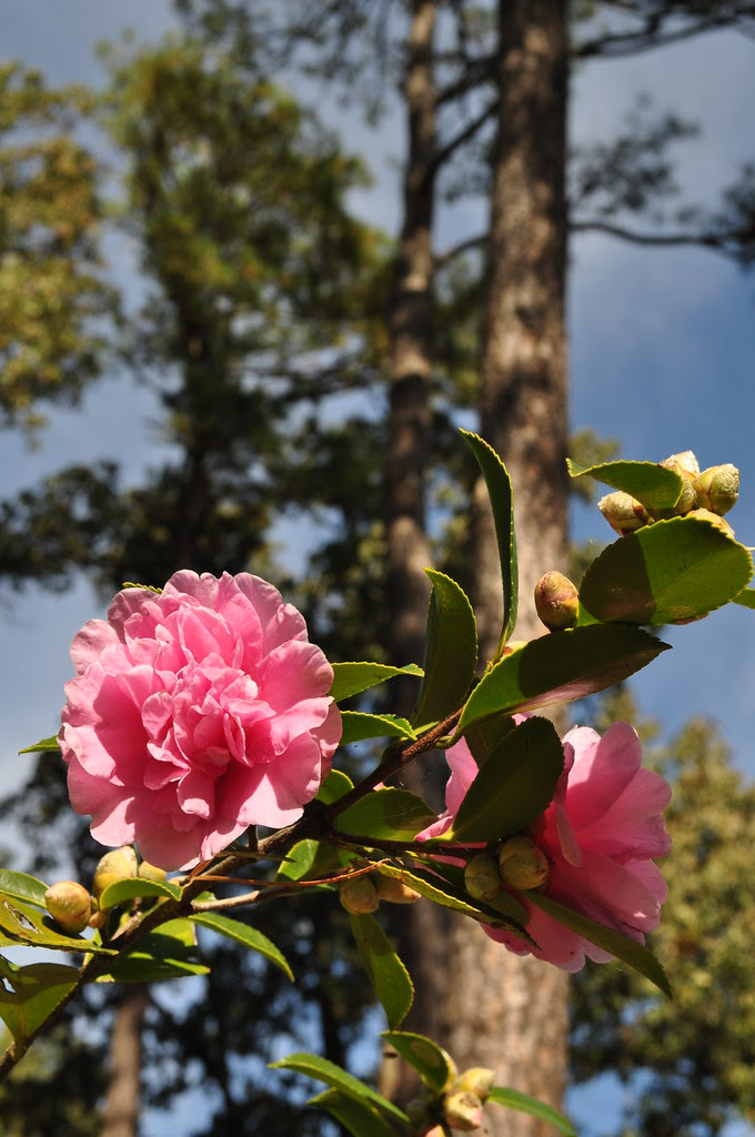 Camellia sasanqua 'Showa-no-sake' 1