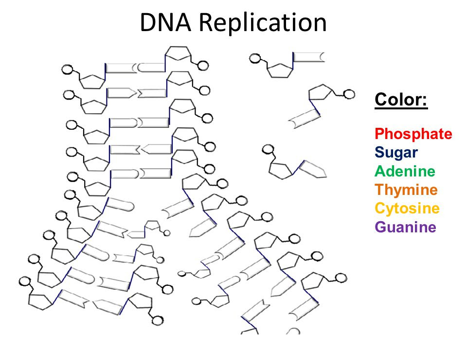 DNA Song Row, Row, Row your Boat  ppt video online download