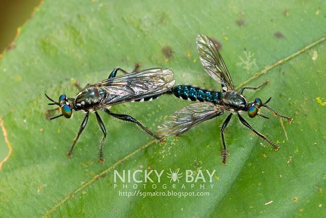 Robberflies (Asilidae) - DSC_9446