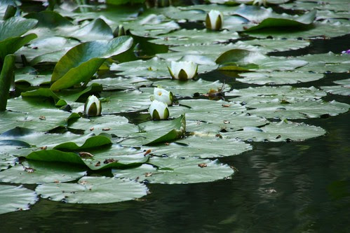 Waterlilies at Chatsworth