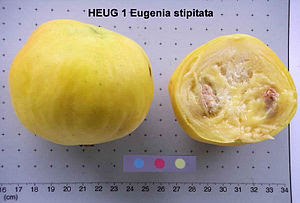 English: Eugenia stipitata
