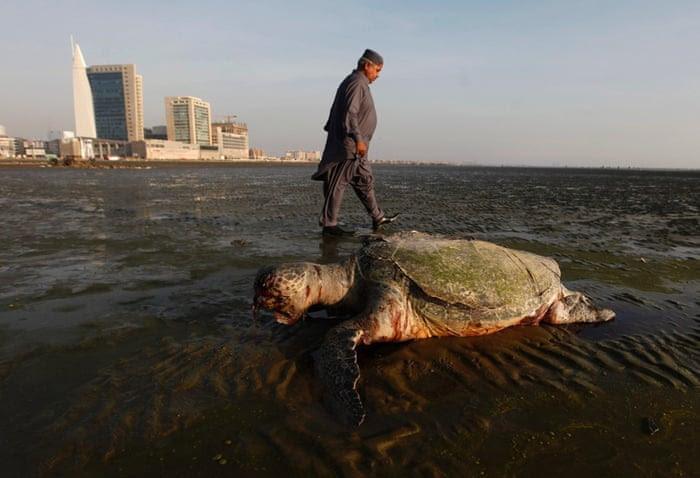 A man walks past a dead green turtle along Karachi's Clifton beach January 7, 2015.