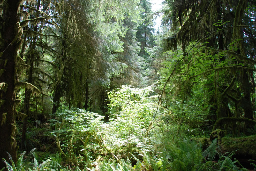 Olympic National Park Forest on Hoh River Trail