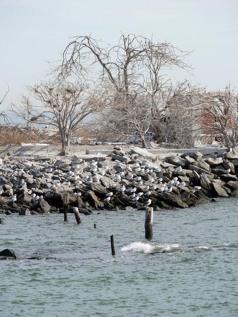 Ed Gaillard: birds &emdash; Swinburne Island, NY Harbor