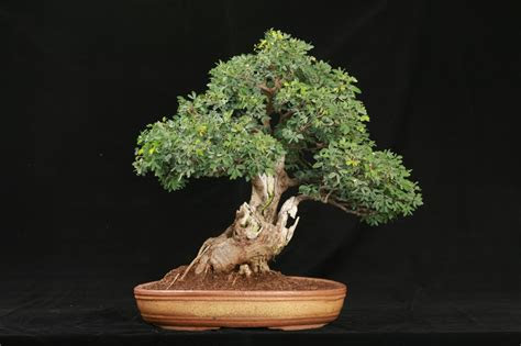 bonsai wallpaper  android wallpapersafari