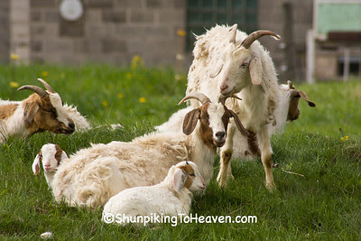 Goat Family Portrait with Photo Bomber, Sauk County, Wisconsin