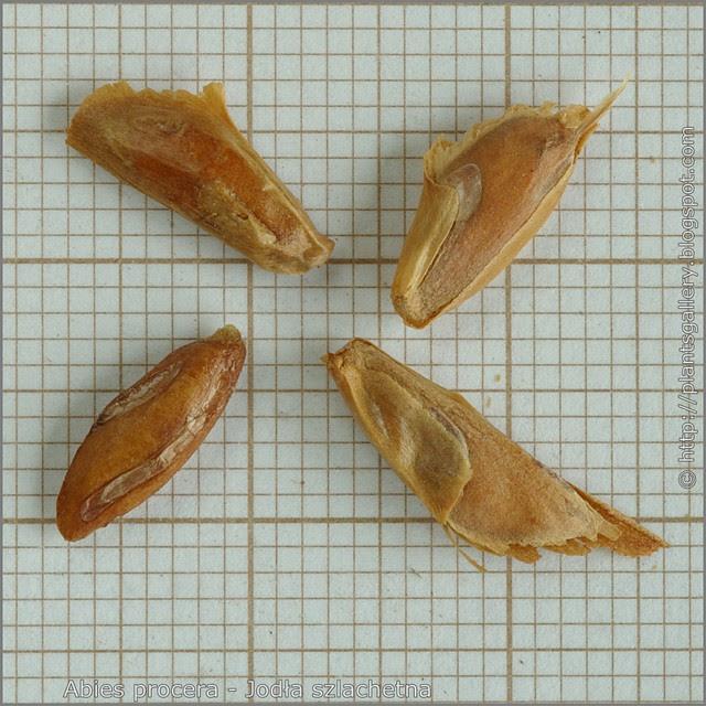 Abies procera seeds - Jodła szlachetna nasiona