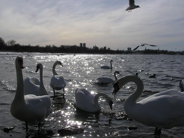 Tallinn bay with mute swans