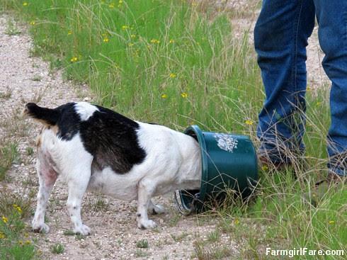Bucket Beagle Bert - FarmgirlFare.com