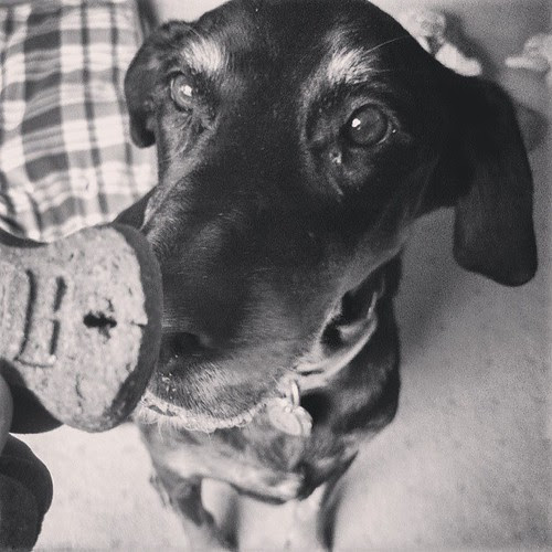 "Lola ""you has cookie for me?"" #dobermanmix #rescue #dogstagram #adoptdontshop"