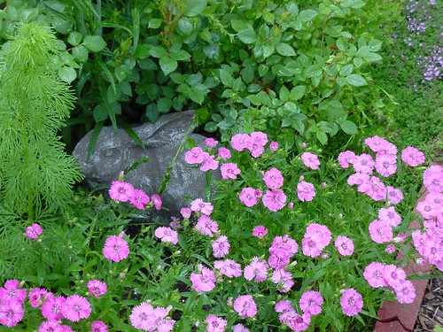 Dianthus & Bunny