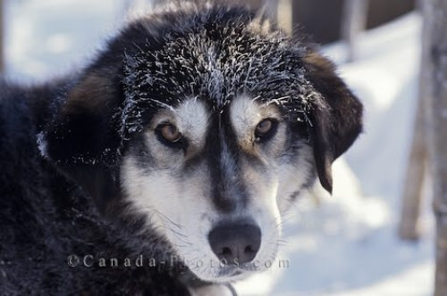 """The image """"http://www.canada-photos.com/data/media/24/husky-sled-dog_49.jpg"""" cannot be displayed, because it contains errors."""