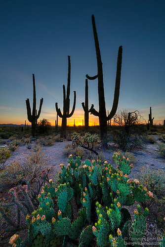 Spring Cacti, Saguaro National Park, Arizona