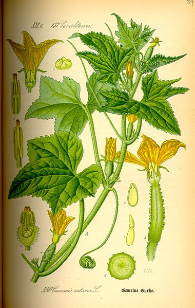 Fichier:Illustration Cucumis sativus0.jpg