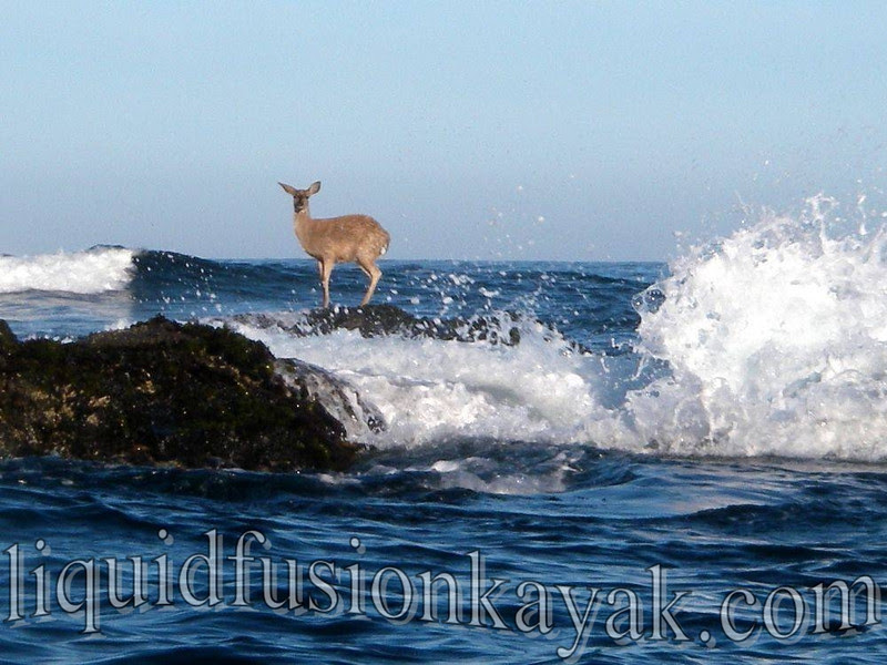 kayak, fort bragg, mendocino, tour, wildlife