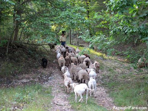 (18-9) Luring the sheep away from Donkeyland and back towards the barn - FarmgirlFare.com
