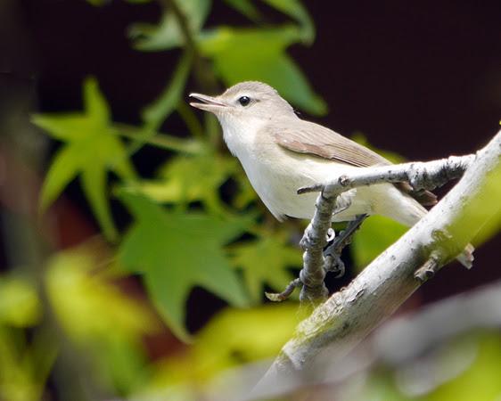 Ed Gaillard: birds &emdash; Warbling Vireo singing, Randall's Island