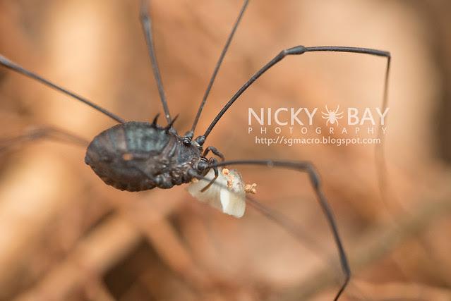 Harvestman (Opiliones) - DSC_5178