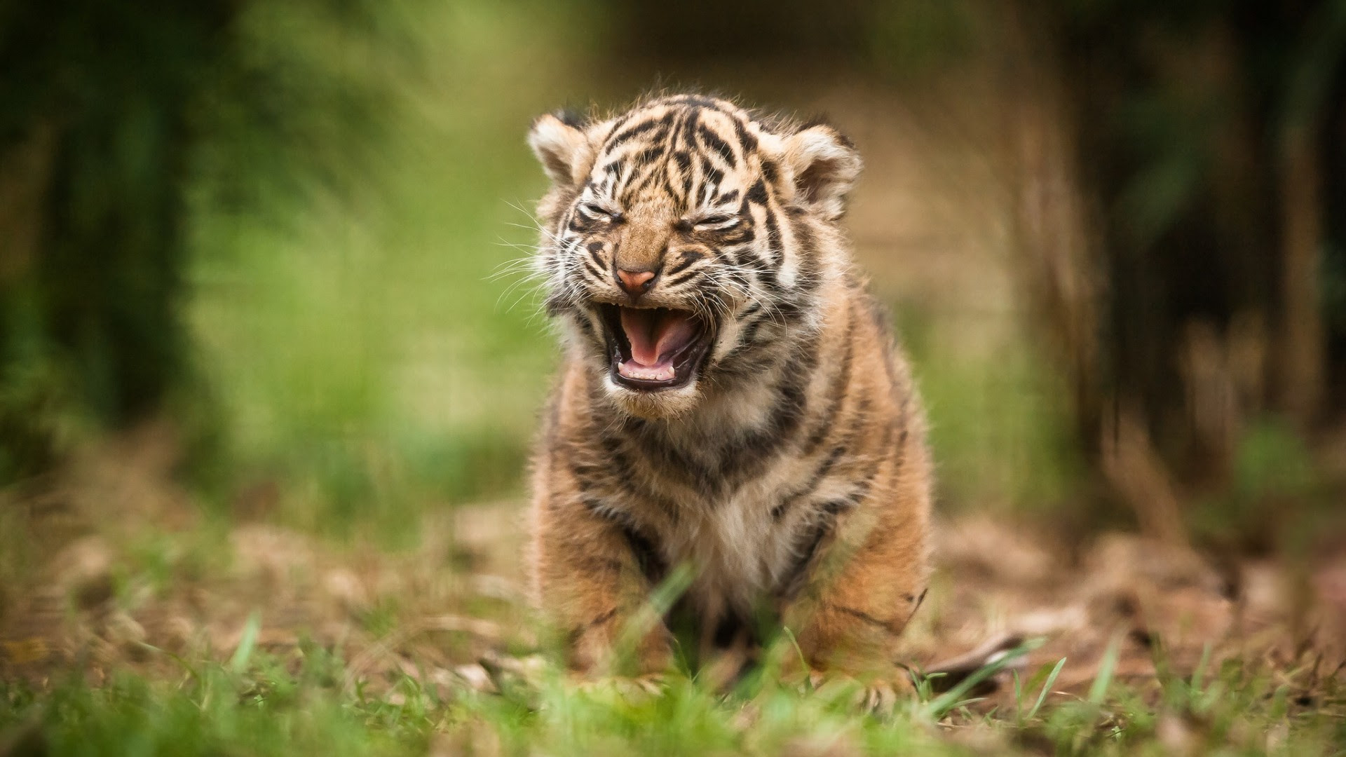Tiger Wallpaper Download Full Hd