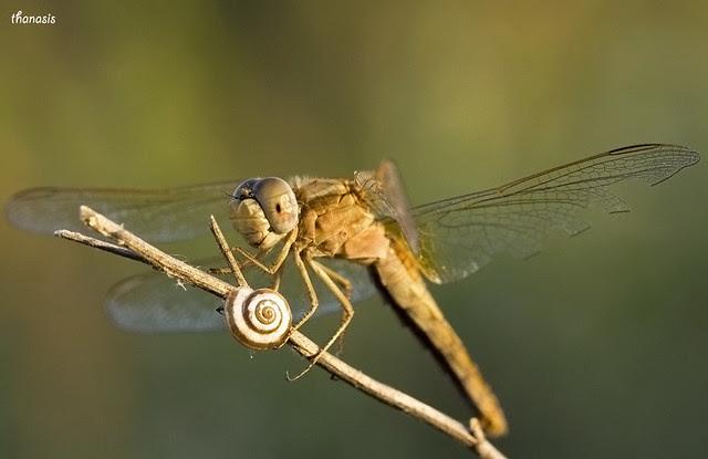 Crocothemis erythraea ♀
