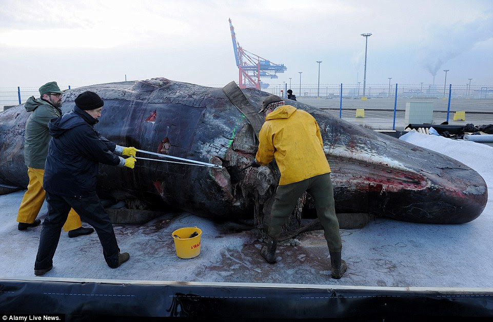 Enormous work: A team of whale experts begin the dissection of two sperm whale carcasses on the pier of the JadeWeserPort in Wilhelmshaven, Germany