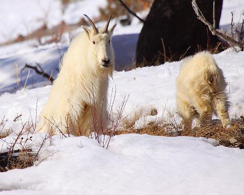IMG_0414 Mountain Goat, Targhee National Forest
